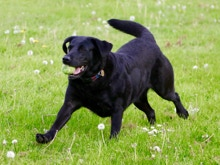 Black Labrador Dog